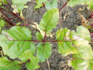 Причины, почему у свеклы желтеют листья и ошибки в уходе, что делать и как лечить