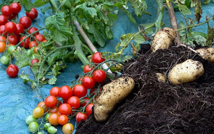 помидорки и картофель