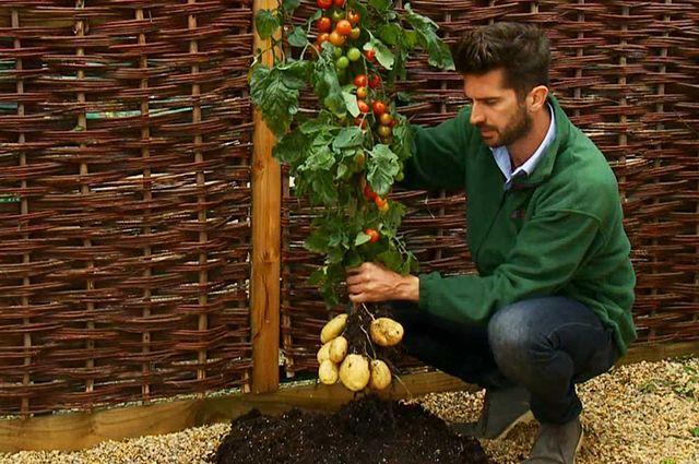 выращивание помидофеля
