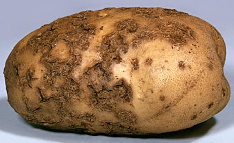 болезнь картошки