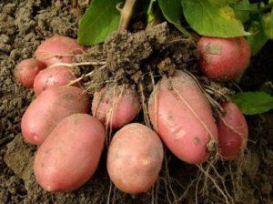 Описание и характеристика картофеля сорта Родриго, выращивание и уход