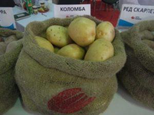 Описание и характеристика сорта картофеля Коломбо, правила посадки и уход