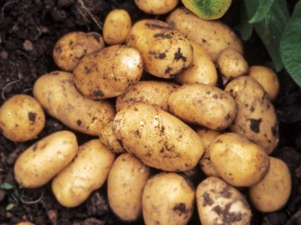 картофель импала