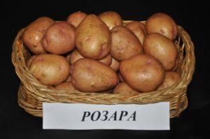 Описание и характеристики сорта картофеля Розара, посадка и уход