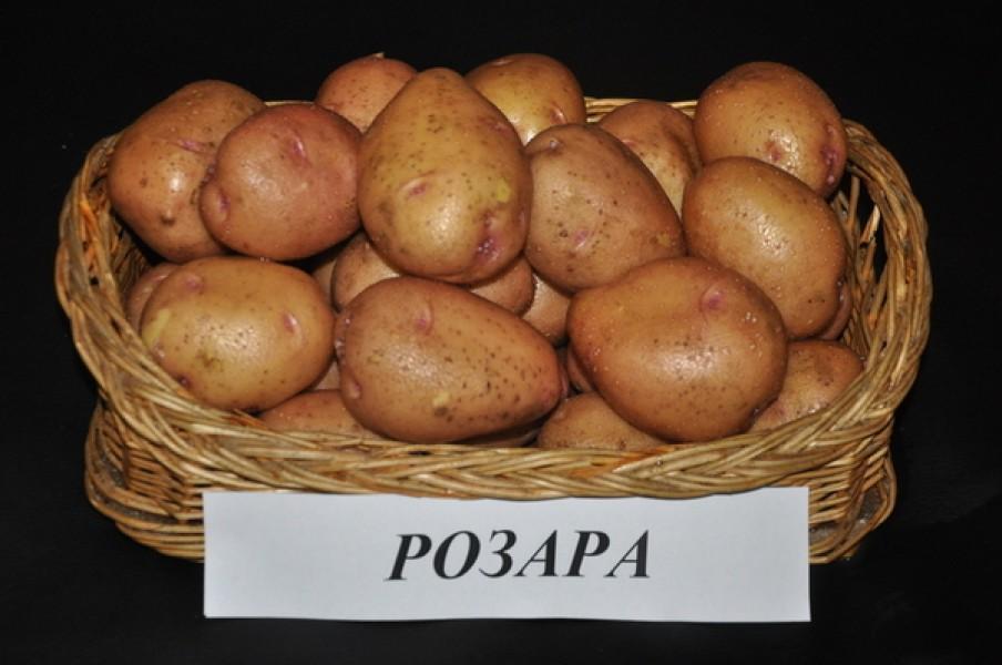 картошка розара