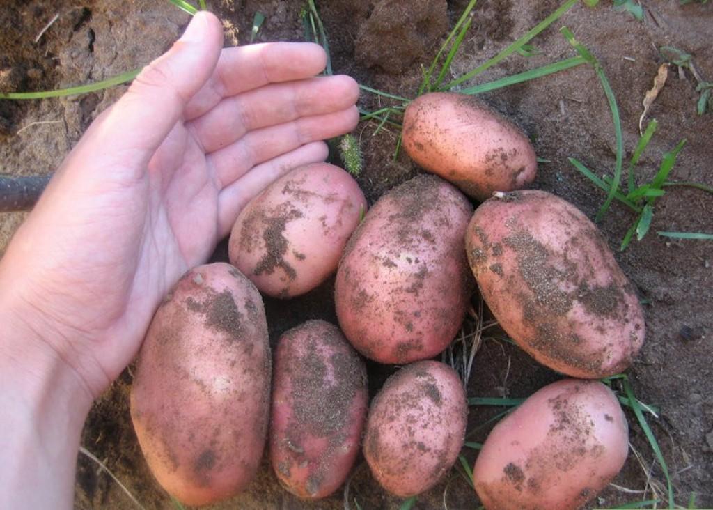 картошка в руке