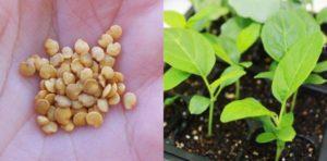 Посадка, выращивание и уход за рассадой баклажан в домашних условиях