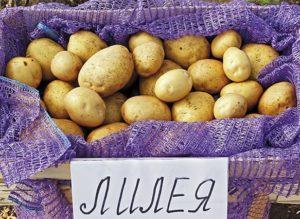 Описание и характеристика картофеля сорта Лилея, посадка и уход