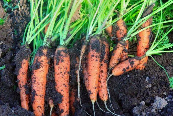 морковь с почвой