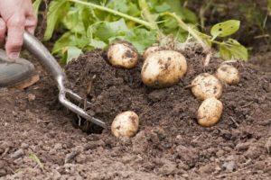 Срок созревания картофеля от посадки до сбора урожая, что такое вегетация