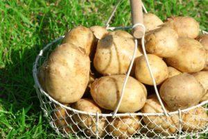 Описание и характеристики сорта картофеля Тулеевский, выращивание и уход
