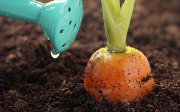 полив морковь