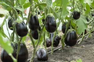 Описание и характеристики сорта баклажанов Клоринда, выращивание и уход