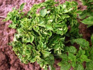 Меры борьбы с курчавостью картофеля, причины и лечение заболевания