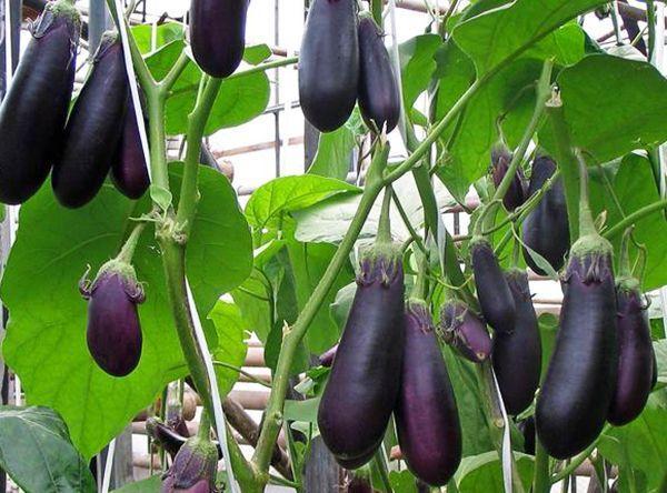 урожайность баклажан