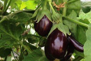 Лучшие сорта баклажан для выращивания в теплице из поликарбоната, посадка и уход