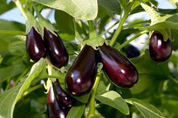плоды баклажан