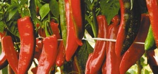 Чилийская жара