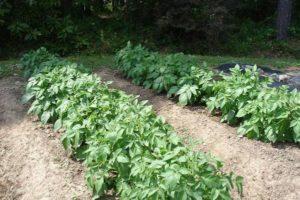 Правила выращивания картофеля по методу Митлайдеру, посадка и уход