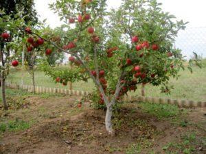 Плодоношение и описание лучших сортов карликовых яблонь, посадка и уход