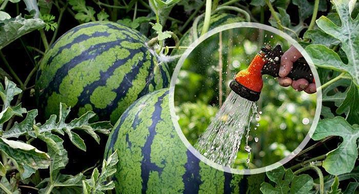 полив арбуза