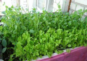 Как можно вырастить рукколу в домашних условиях на подоконнике, посадка и уход