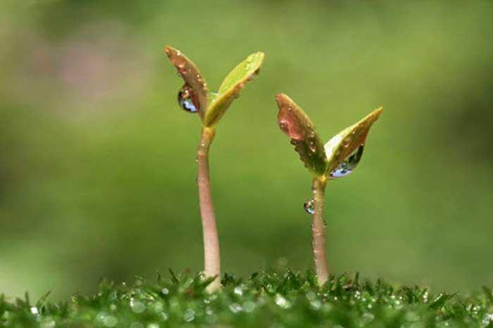 прорастание семян курузы