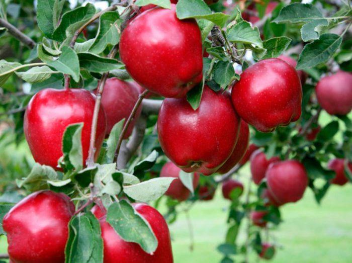 спелы яблоки
