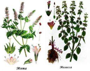 Лечебные свойства и вред от мяты и мелиссы, в чем отличия растений