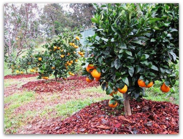 карликовый абрикос