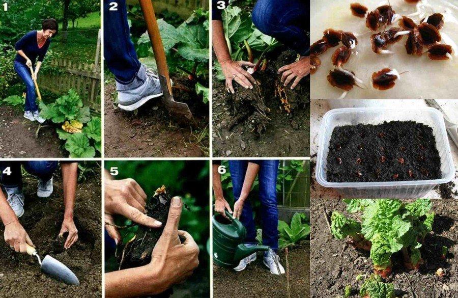тонкости к выращиванию ревена