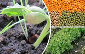 Как и где растет чечевица, описание сортов и технология выращивания