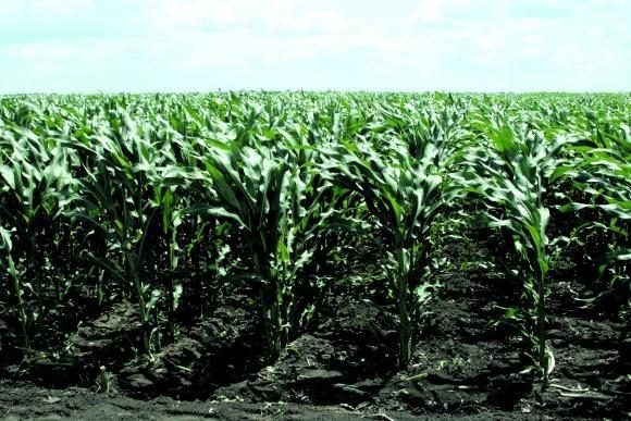 поле кукурузы