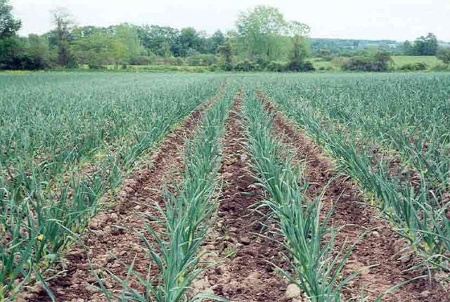 поле чеснока