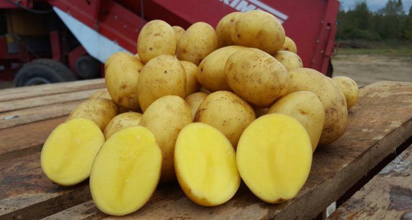 картофель янка