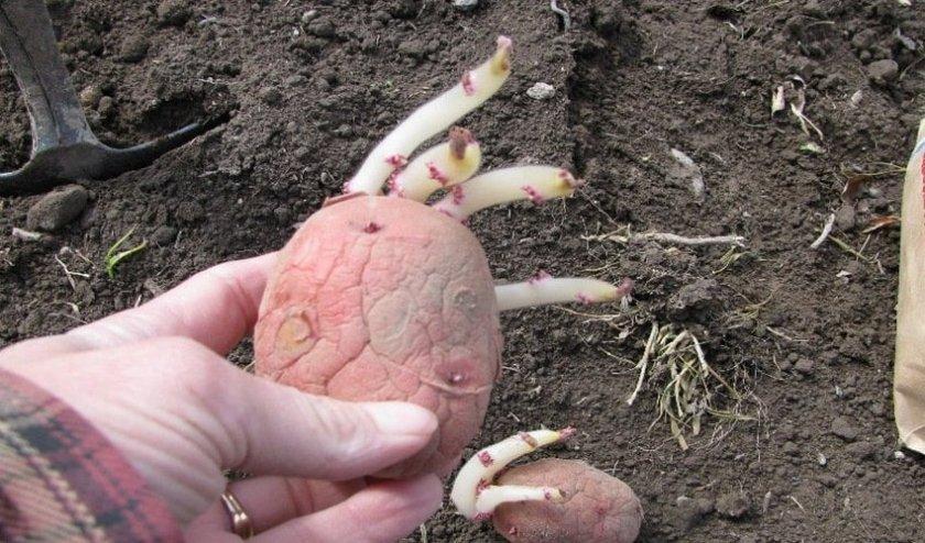 ростки картошки рябинушка