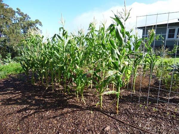 кукуруза на огороде