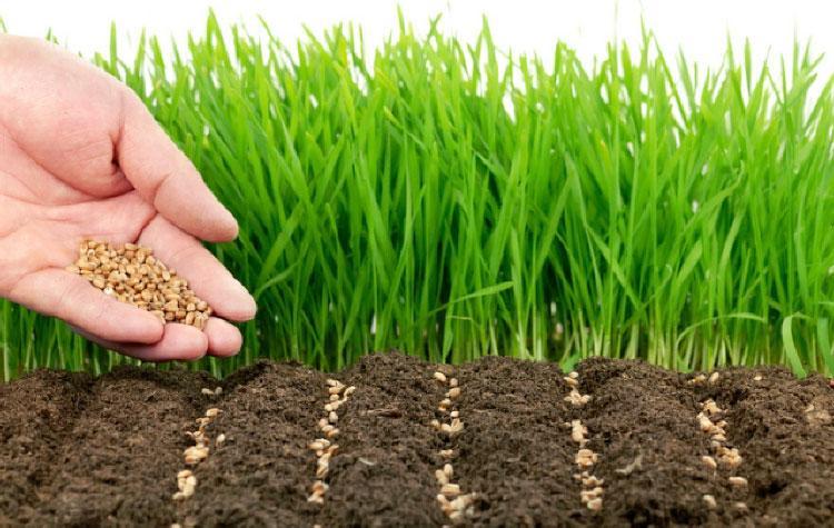 как сеять масличную редьку