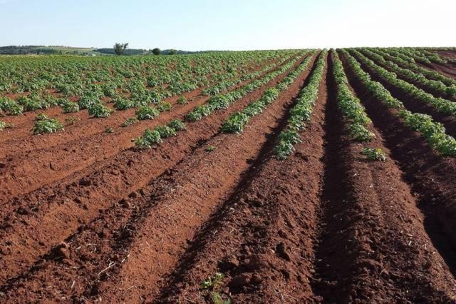 поле картофеля