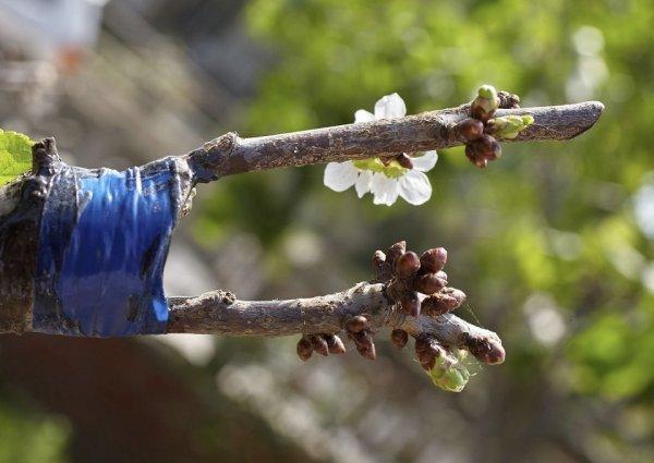 прививание вишни