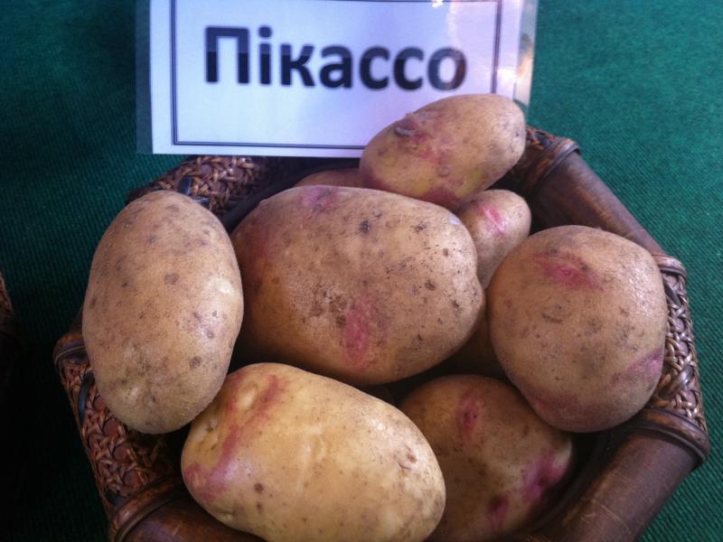 пикассо вкусная картофель