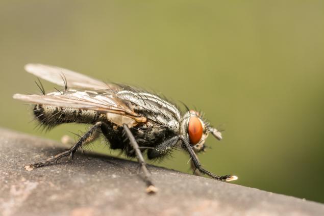 муха овощная