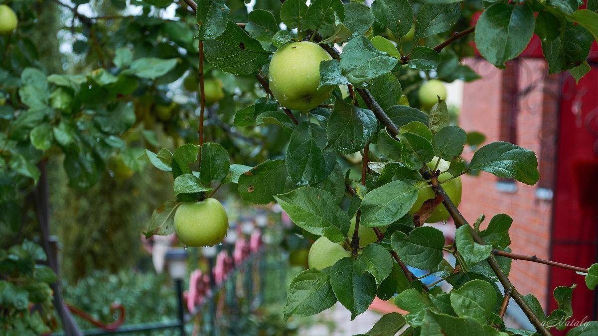 яблоки Натали