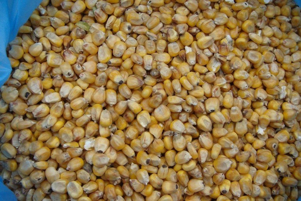 много кукурузы
