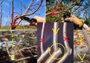 Когда и как правильно делать обрезку вишни, схемы формирования дерева для хорошего урожая