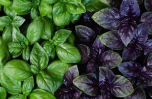 Описание 20 лучших сортов базилика, в чем разница между зеленым и фиолетовым