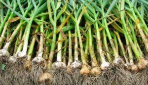 Как правильно посадить чеснок в открытом грунте, подготовка почвы