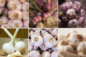Технология выращивания озимого чеснока, крупные сорта и правила выращивания