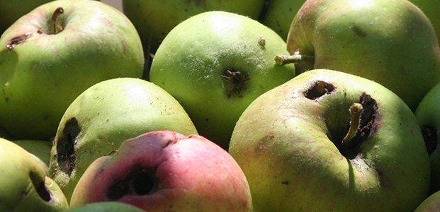 плохие яблони