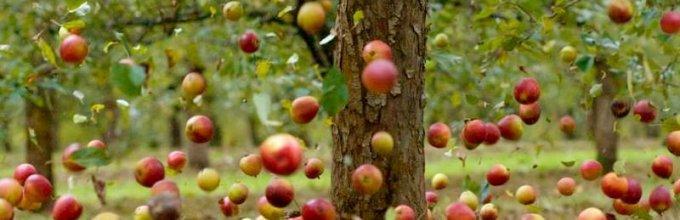опадают яблони